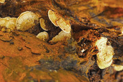 Ganoderma Lucidum - Ling Zhi Mushroom. Royalty Free Stock Images