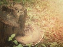 Ganoderma Lucidum Stock Image
