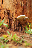 Ganoderma Lucidum - Ling Zhi Mushroom in nature Stock Image