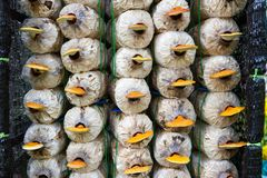 Ganoderma lucidum Lingcheu dei funghi di Lingzhi di processo di piantatura fotografia stock libera da diritti
