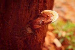 Ganoderma Lucidum lub Ling Zhi pieczarka zdjęcie royalty free