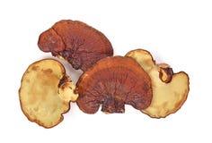 Ganoderma lucidum odizolowywający na białym tle fotografia stock