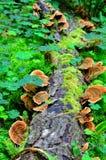 Ganoderma lucidum - parasitic fungus Stock Photography