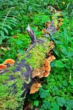 Ganoderma lucidum - parasitic fungus Stock Photography