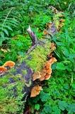 Ganoderma lucidum - parasitisk svamp Arkivbild