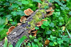 Ganoderma lucidum - parasitisk svamp Fotografering för Bildbyråer
