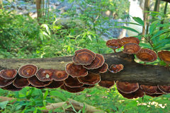 Ganoderma lucidum pieczarka Obraz Stock