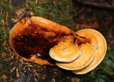 Ganoderma Oregonensis-an den verschiedenen Stadien von Reife Stockfotografie