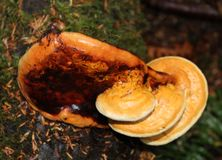 Ganoderma Oregonensis-em fases diferentes da maturidade fotografia de stock