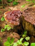 ganoderma pieczarka zdjęcie stock