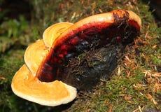 Ganoderma specie-Medio September Stock Foto