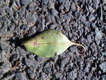 ganpati liścia fotografii bóg w liścia wspaniałym obrazku uczy się fotografii ganesha ek drogowego samotnego danta Obrazy Royalty Free
