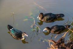 Gans auf Teich in der Natur bei Sonnenaufgang Stockfotos