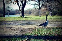 Gans bij het park Royalty-vrije Stock Afbeeldingen