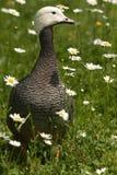 Gans in bloemen Royalty-vrije Stock Afbeeldingen