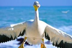 Gans de pelikaan die binnen komt te landen Stock Foto's