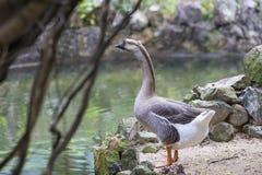 Gans, die einen ruhigen Teich im wilden bereitsteht Stockfotografie