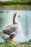 Gans die en op het gras in een dierentuin dichtbij een vijver in w lopen zitten royalty-vrije stock fotografie