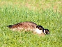 Gans die haar plaats van haar nest in fieldgrass verbergen Stock Afbeelding