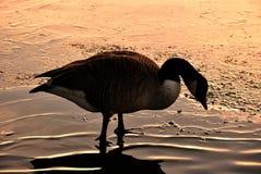 Gans, die im Teich, Schattenbild steht Stockbild
