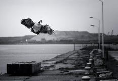 Gans die tijdens de vlucht Vleugels klapt Royalty-vrije Stock Fotografie
