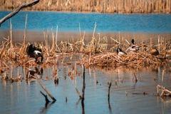 Gans die zijn veren naast een wilde eendeend daarna ritselen in een meer van het moerasland stock fotografie