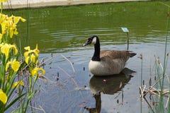 Gans in een meer dichtbij gele bloemen stock afbeeldingen