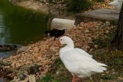 Gans, eend, anatide het meer Stock Foto