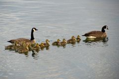 Gans-Familien-Ausflug Stockfotos