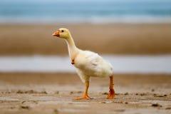 Gans geht entlang den Strand, lustige Tiere stockfotografie