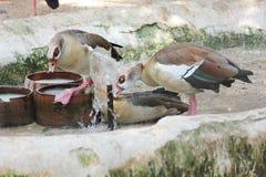Gans het drinken bij de Egyptische dierentuin Stock Foto's