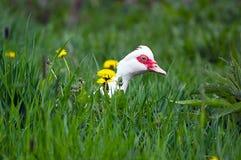 Gans in het Gras Stock Foto