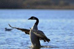 Gans klappende vleugels in water Stock Fotografie