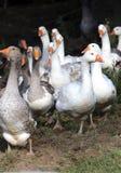Gans lassen auf ländlicher Szene der Geflügelfarm weiden Lizenzfreies Stockbild