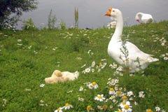 Gans met gansjes op het gras naast de vijver stock fotografie