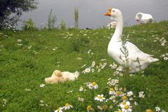 Gans mit Gänschen auf dem Gras nahe bei dem Teich stockfotografie