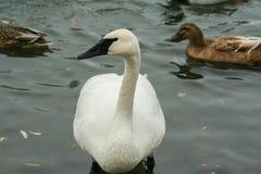 Gans mit weißen Enten Stockfotos
