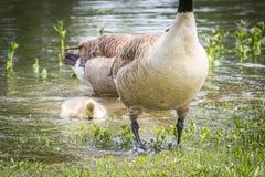 Gans oder Blick wasserdichte Federn und Gosling Stockbild