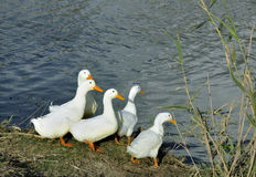 Gans op riverbank Stock Foto's