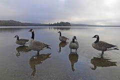 Gans am See von zwei Flüssen Lizenzfreies Stockbild