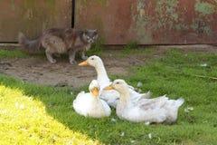Gans und Katze im Yard Stockbilder
