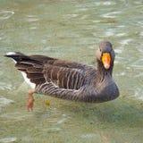 Ganseend in het water in het meer royalty-vrije stock fotografie