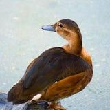 Ganseend in het water in het meer royalty-vrije stock afbeeldingen