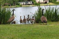 Gansfamilie stockfotos