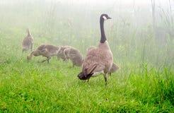 Gansfamilie auf nebelhaftem Ufer Lizenzfreies Stockbild