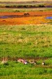 Gansfamilie dichtbij Hvitarnes-hut, IJsland royalty-vrije stock fotografie