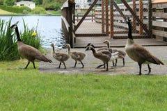 Gansfamilie heraus für einen Spaziergang Stockfoto