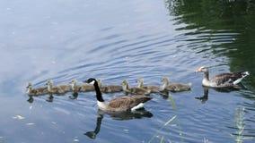 Gansfamilienschwimmen stockfotos