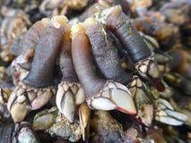 Ganshalsrankenfußkrebse, Krebstiere, Zartheit, Meeresfrüchte Pollicipes Percebes Pedunculata Pollicipes stockfoto