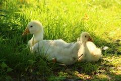 Gansjes in het gras Royalty-vrije Stock Foto
